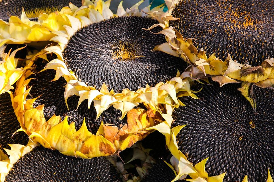 sunflower facts